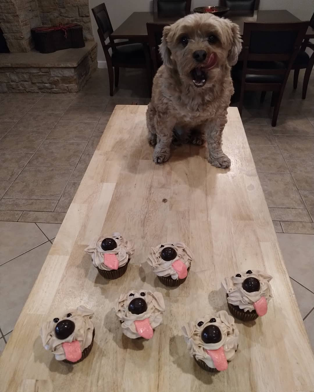 Bichpoo with cupcakes